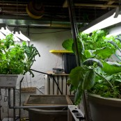 Basement Aquaponics